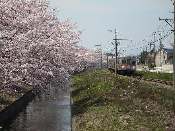 とうてつ桜