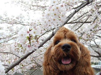 桜とjohan