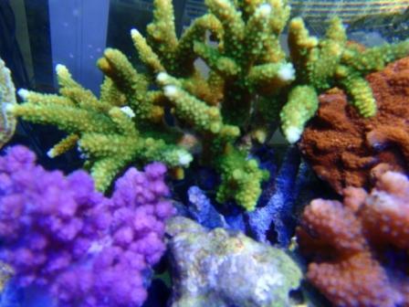 Acropora green 2012 02 19