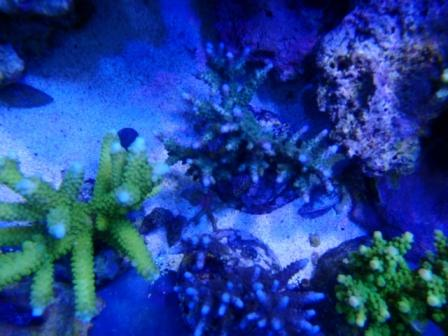 Acropora Breed 2012 02 19