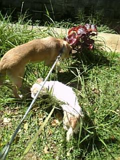 草を食べるチャコとダイ