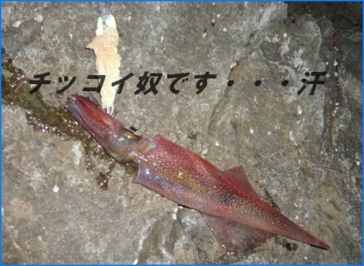 20120329 ヤリイカ2