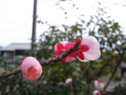 2012.03.20 宇原神社の紅梅5 - コピー