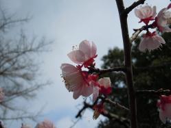 2012.03.20 宇原神社の紅梅1 - コピー