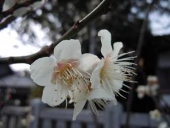 2012.03.20 宇原神社の白梅