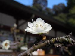 DSCN5991戸上神社 白梅