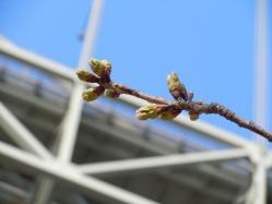 DSCN6009和布刈 桜新芽
