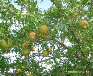 ザクロの木