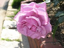 shocking-blue-rose.jpg