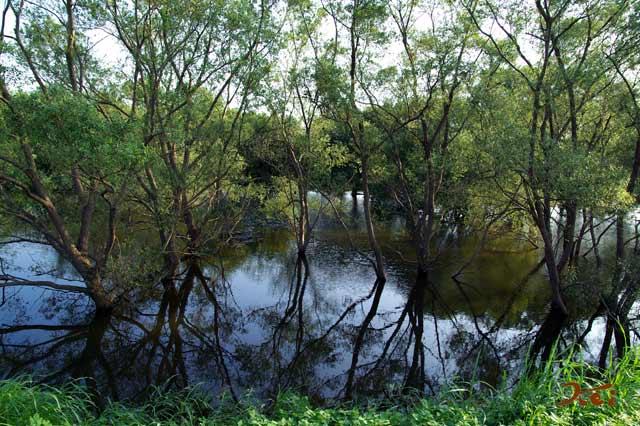 川の木02
