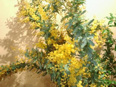mimozaakasiya.jpg