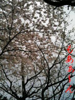 なぜ、こんなに桜が好きなんでしょう?