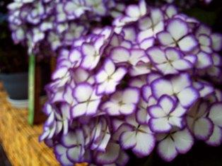 紫陽花園(ジャパーニュー ミカコ)