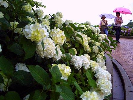 紫陽花園(アナベル)