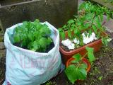 我が家の、プランター菜園!?
