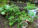 雨に打たれる野菜達。