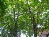 隣のウチの木です。。