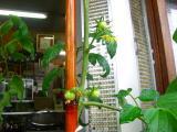 ちびトマトが、次々と・・・