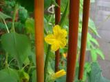 キュウリの花。。