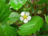 ワイルドストロベリーの花。。