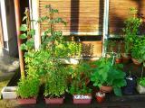 朝日を浴びる野菜達。。
