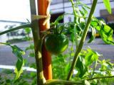 元気なトマト・1