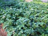 ジャガイモがいっぱい!