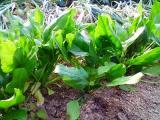 ほうれん草も、青々と茂っています♪