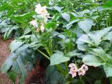 ジャガイモの花!可愛らしいですよねっ♪