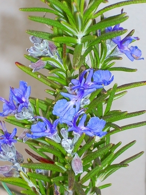 blue spires flower