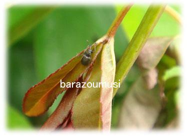 バラゾウムシ