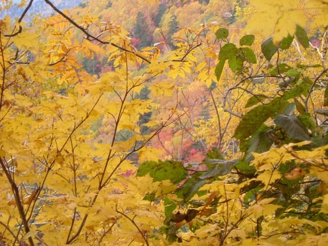 美しい黄色の紅葉
