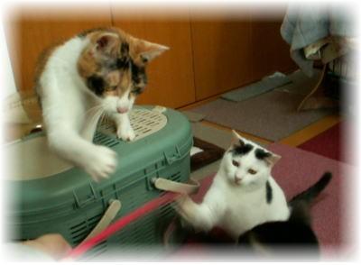 70匹の猫たちのデコちゃん&小太郎君&みゅうちゃん