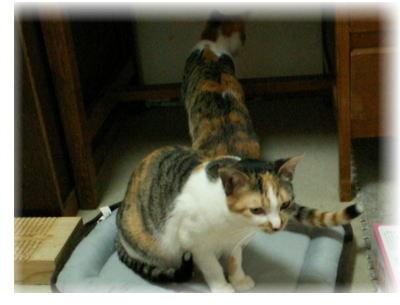 70匹の猫たちのアクビちゃん&タオルちゃん