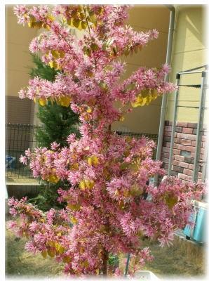 庭の木―トキワマンサク
