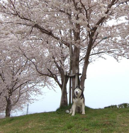 sakura-lucky
