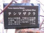chishimazakura2.jpg