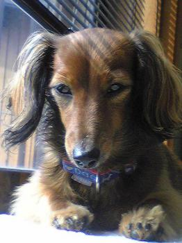 ペット 犬 チャコ