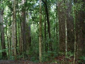 カウリの森