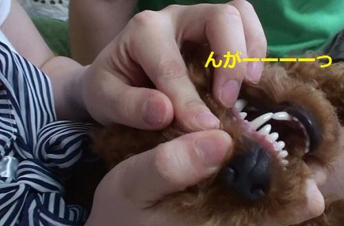 ハチ公の歯茎