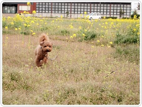 2011 04 27_菜の花畑_0029