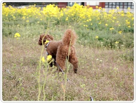 2011 04 27_菜の花畑_0041