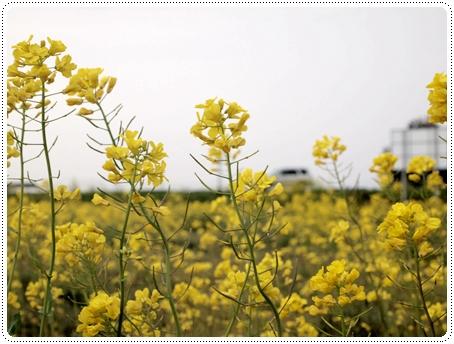 2011 04 27_菜の花畑_0019