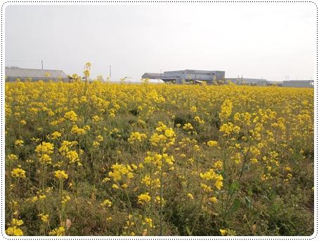 2011 04 27_菜の花畑_0070