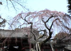 氷室神社の桜1