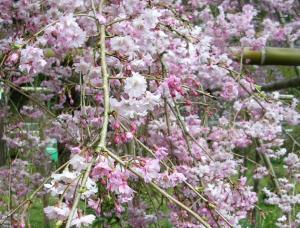 仏隆寺の桜 境内の枝垂れ