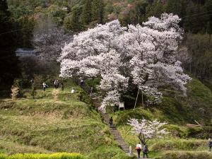 仏隆寺の千年桜
