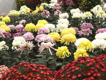 国華園の菊