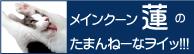 メインクーン蓮の たまんねーなヲイッ!!!