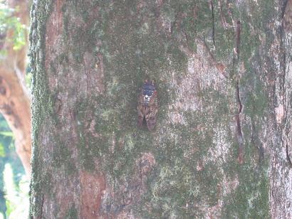 070813木に止まるセミ